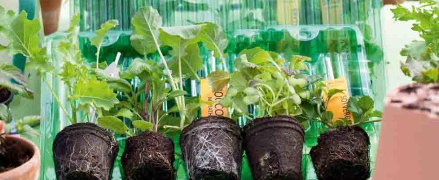 Köpa småplantor som redan är redo att skolas om