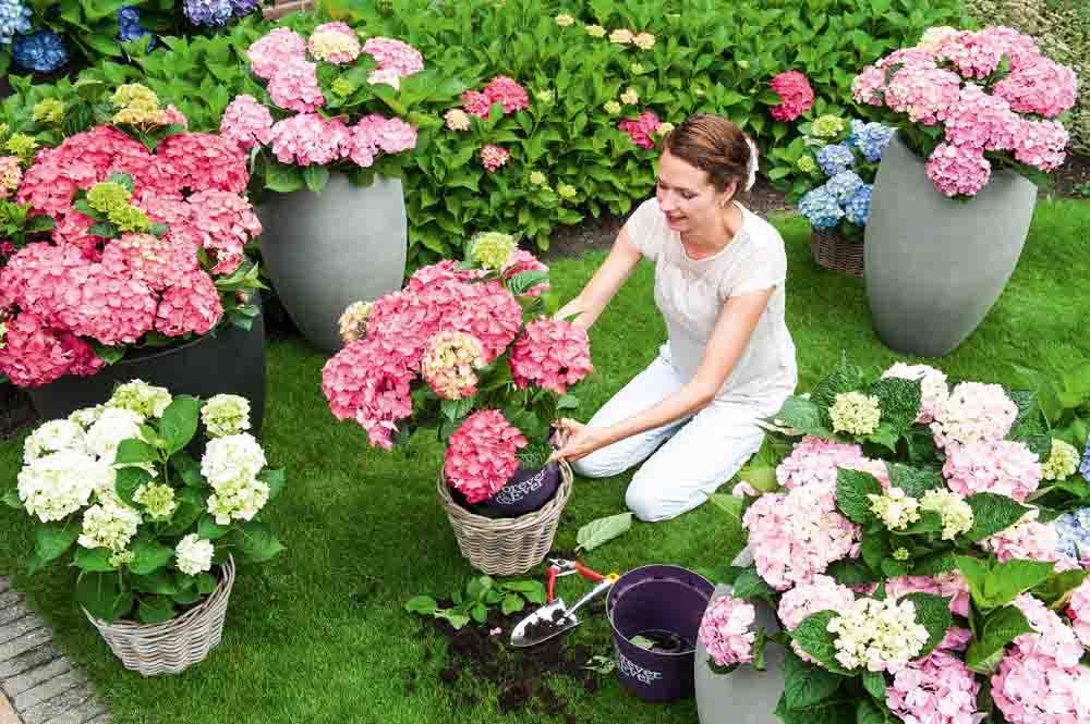 Forever & Ever trädgårdshortensia