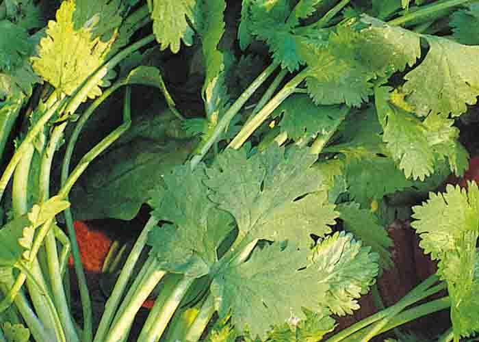 Koriandersorten Cilantro organic