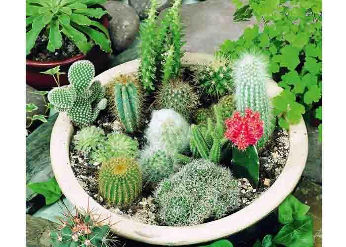Weibulls kaktusmix