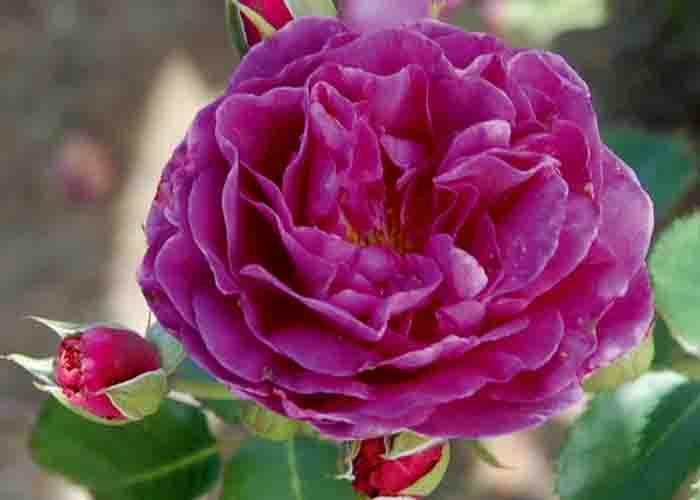 Rosen Minerva från Hortogreen