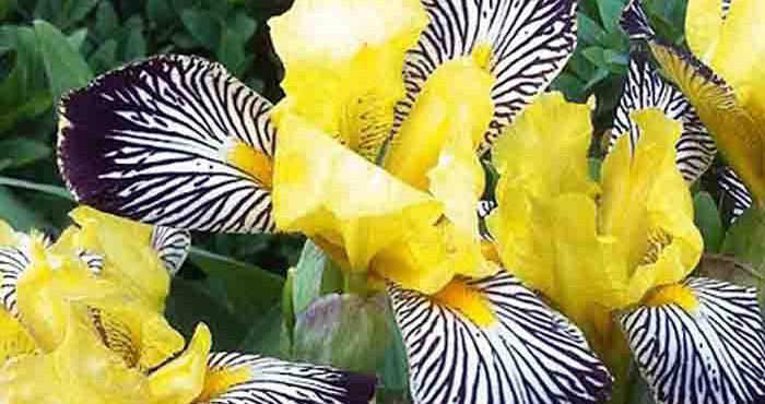 Brokiris växt Golden Zebra