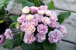 Härliga vårblommor i trädgården