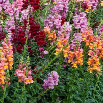 Lejongap för färgsprakande trädgård