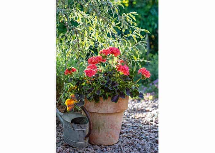 Blommande pelargoner från Blomsterfrämjandet